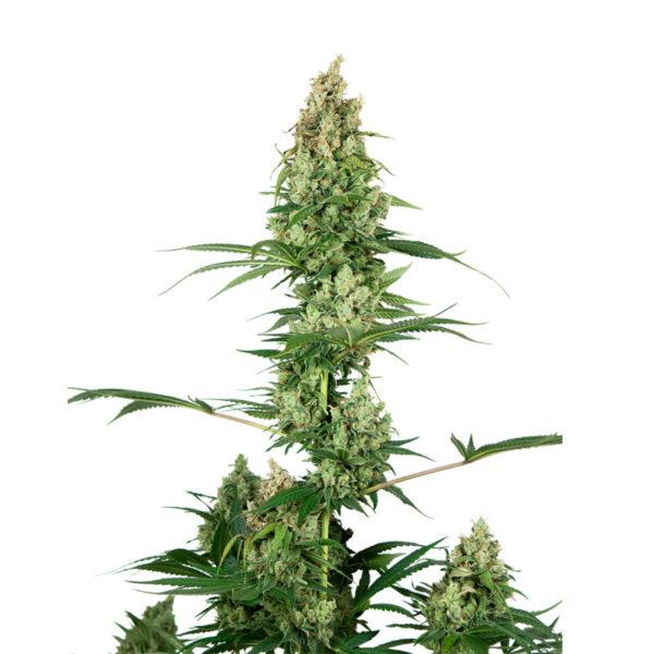 Sensi Seeds Θηλυκοί σπόροι κάνναβης 1 τεμάχιο - Silver Haze x Fire OG, φωτογραφία του φυτού κάνναβης