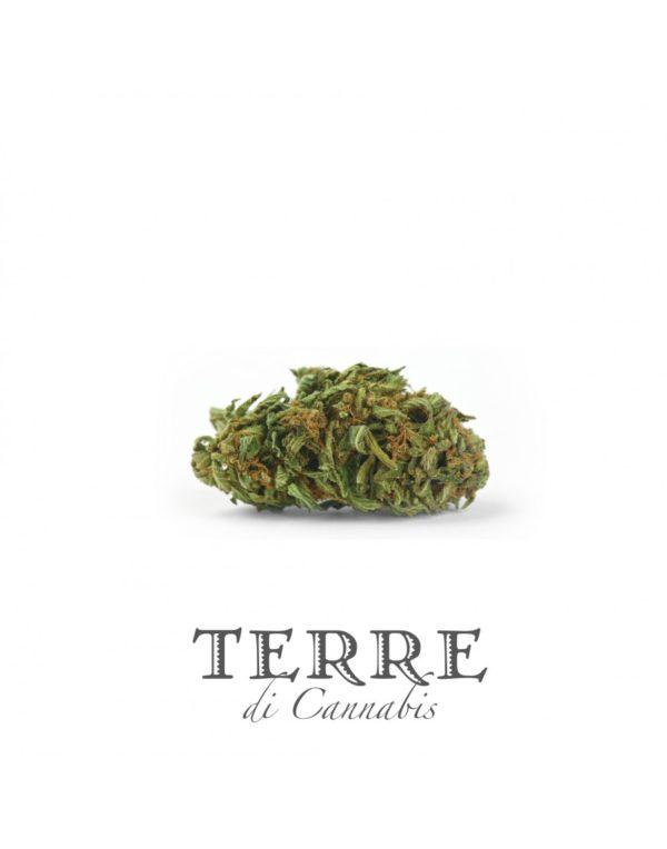 Ανθοί κάνναβης με CBD Terre Di Cannabis
