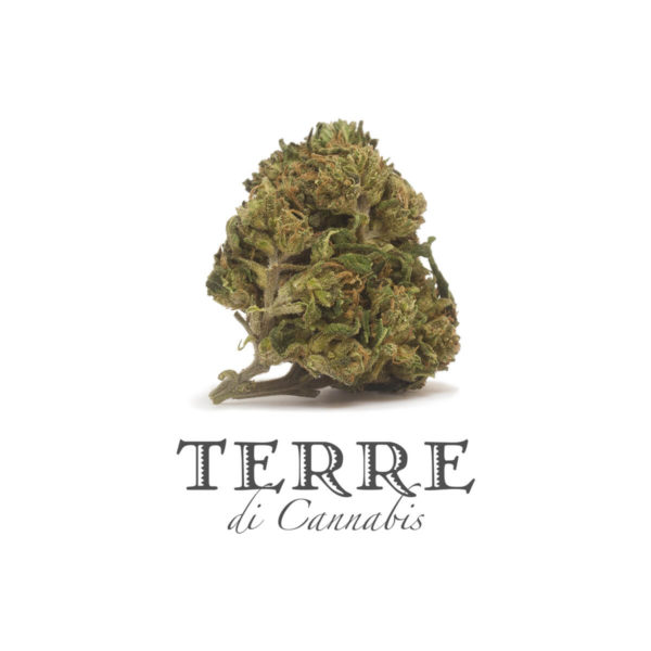 Cannabis flower Hemp bud of Terre Di Cannabis Perla with 20% CBD