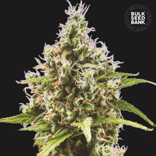Image of the Cannabis plant derived from feminized Seeds of the autoflowering variety AUTO AMNESIA HAZE