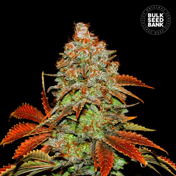 Photo of cannabis plant, derived from cannabis seeds of BUBBLEGUM EXTRA variety.
