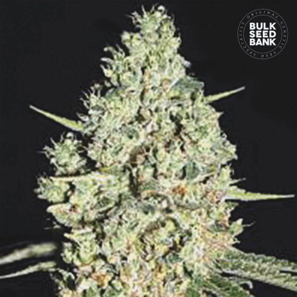 Image of the cannabis plant out of BULK SEED BANK seeds.