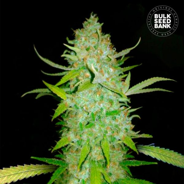 Image of the cannabis plant from BULK SEED BANK Seeds with CBD and THC.