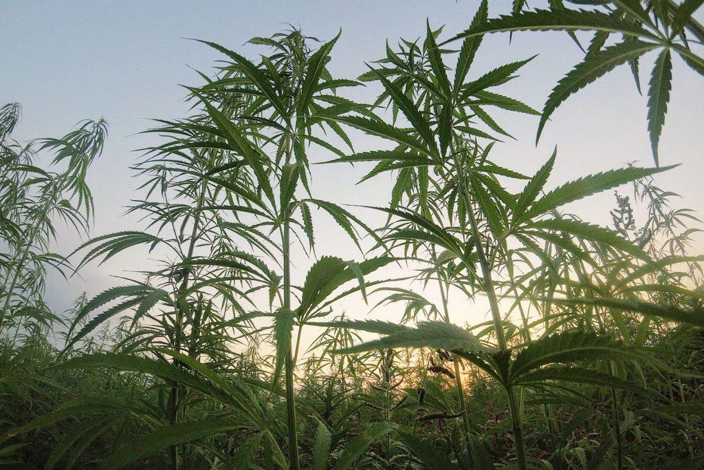 Organic medical cannabis crops in Greece. Sativa L., CBD strain