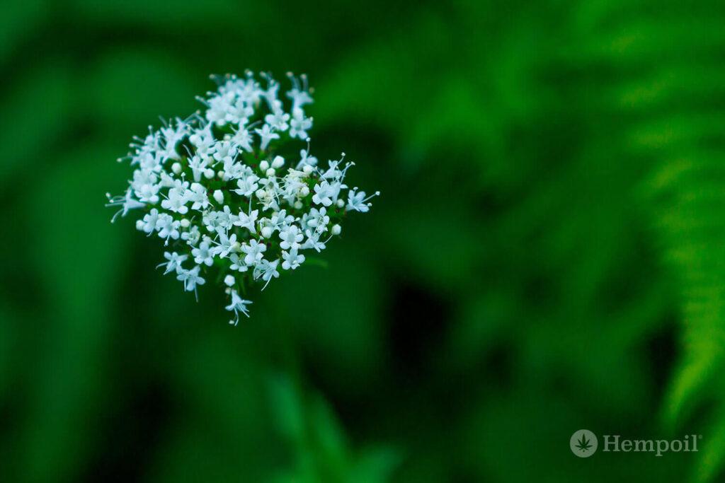 Φωτογραφία του φυτού βαλεριάνα για τη θεραπεία ύπνου