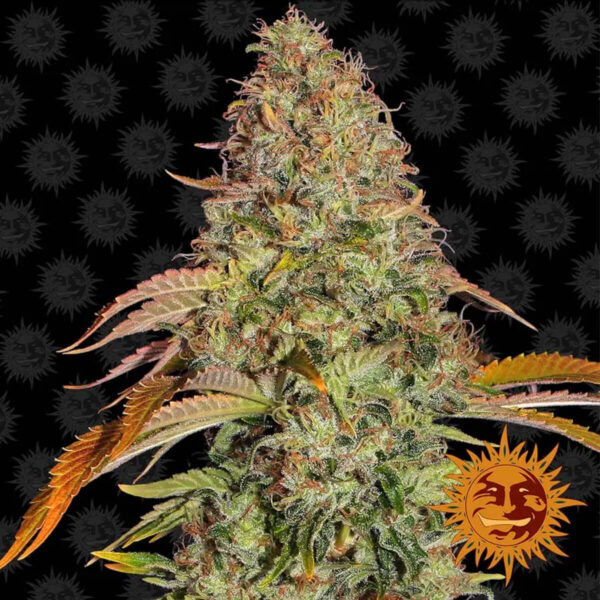 Barneys Farm - Zkittlez Og Auto - cannabis seeds - photo - 3pcs