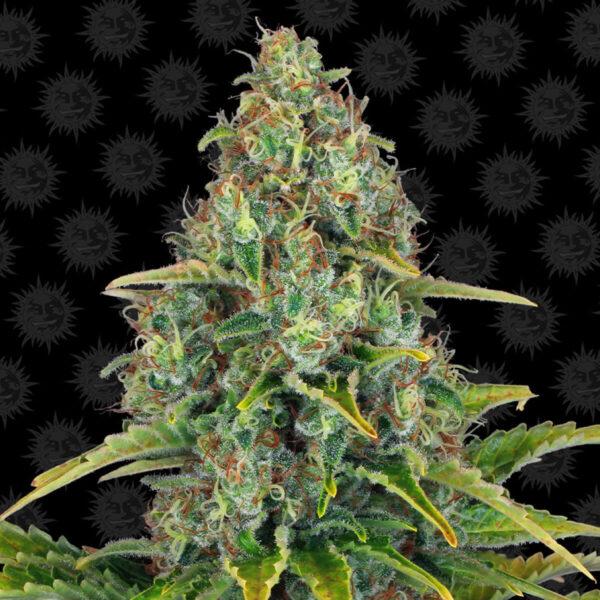 Barneys Farm | Blueberry Cheese Auto – 3pcs bud cannabis flower