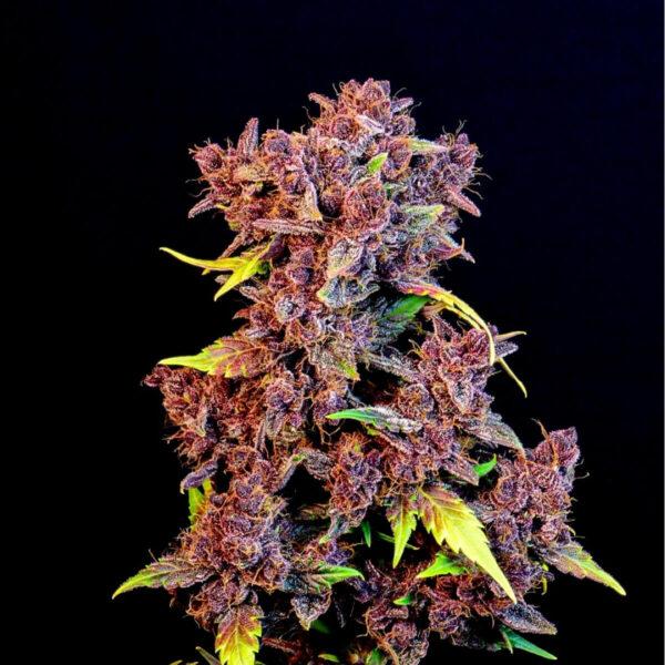 Fast Buds | Αυτόματοι Σπόροι Κάνναβης - Purple Lemonade Auto – φωτογραφία ανθού