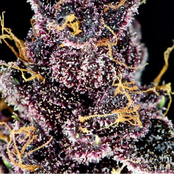 Fast Buds | Αυτόματοι Σπόροι Κάνναβης - Purple Lemonade Auto – φωτογραφία - 2