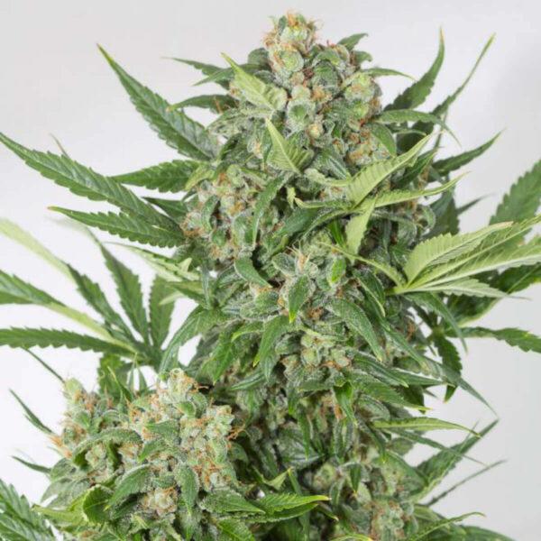 Dinafem | Autoflowering Cannabis Seeds - Amnesia XXL Auto -  pic2 - 3pcs