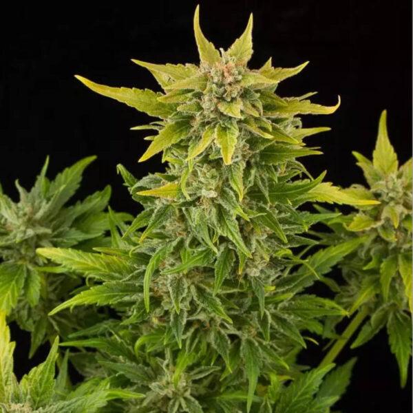 Dinafem | Αυτόματοι Σπόροι Κάνναβης - Fruit Auto - ανθός φυτού φωτό2
