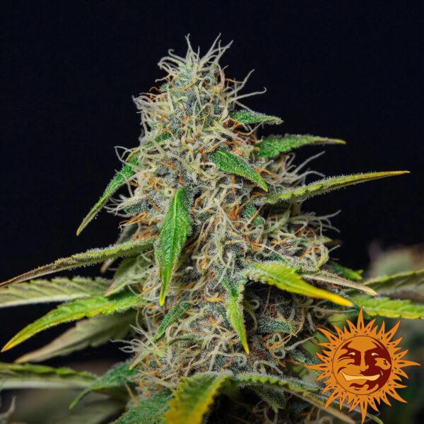 Barneys Farm | Autoflowering Cannabis Seeds - Purple Punch Auto – photo - 3pcs