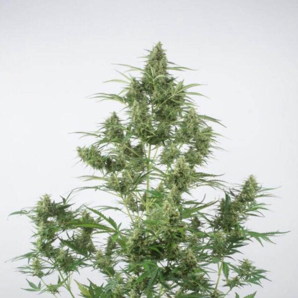 Dinafem | Αυτόματοι Σπόροι Κάνναβης - Critical + 2.0 Auto - ανθός φυτού φωτο - 2