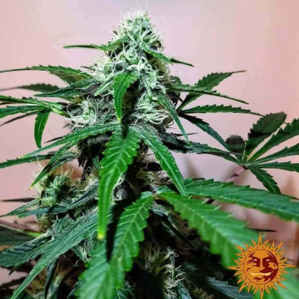 Barneys Farm - Zkittlez Og Auto - cannabis seeds - photo - 2 -3pcs