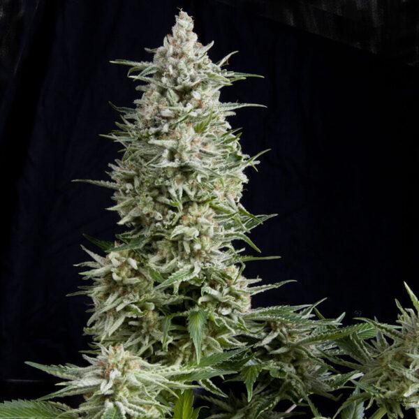 Pyramid Seeds | Autoflowering Cannabis Seeds – Auto Amnesia Gold - Photo of buds - 2