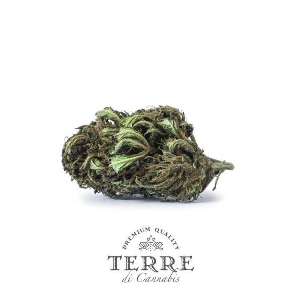 Terre Di Cannabis Briosa CBG - 2gr. - photography of the bud - 3