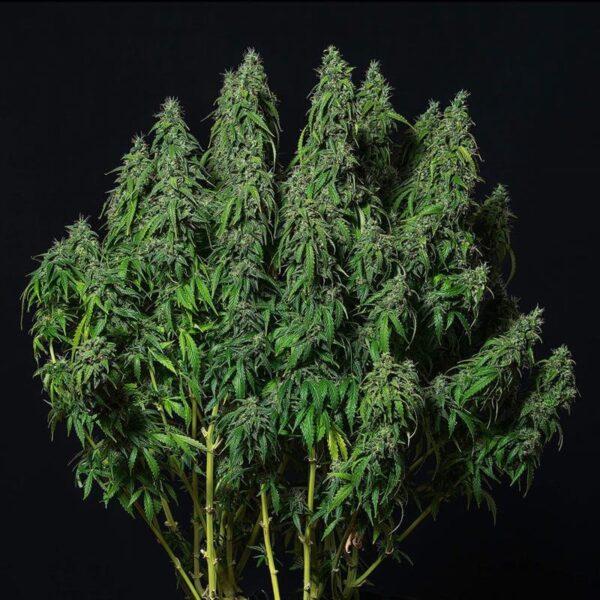 Buddha Seeds | Autoflowering Cannabis Seeds – Magnum Auto – 3pcs - bud photo - 2