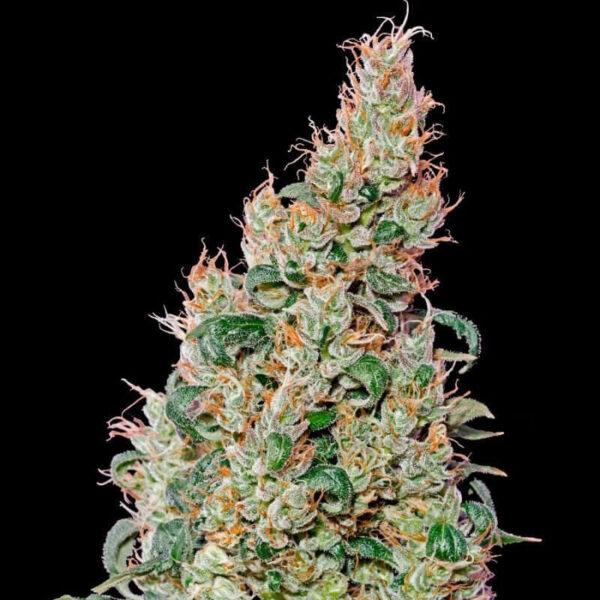 Green House Seeds | Αυτόματοι Σπόροι Κάνναβης – Green O Matic Auto – 3τεμ - φωτογραφία φυτού -2