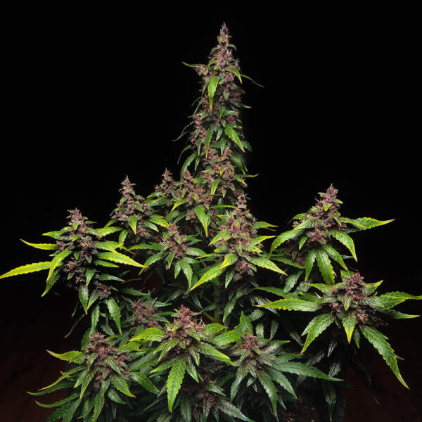 Buddha Seeds | Autoflowering Cannabis Seeds – Purple Kush Auto – 3pcs - buds photo
