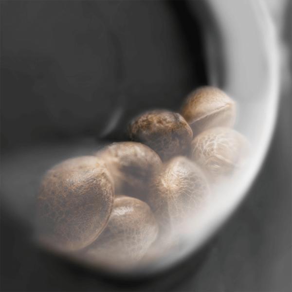 Sensi Seeds | Αυτόματοι Σπόροι Κάνναβης – Sensi Amnesia Auto – 3τεμ - φωτογραφία συσκευασίας - 2