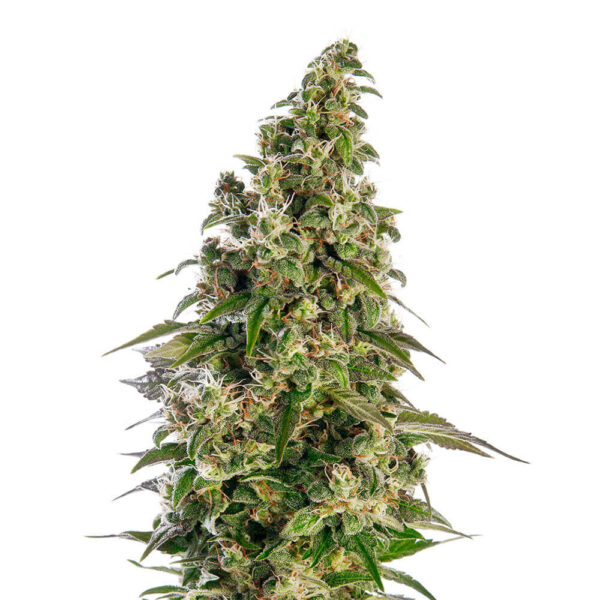Sensi Seeds | Autoflowering Cannabis Seeds – Afgani Auto – 3pcs - bud photo - 3