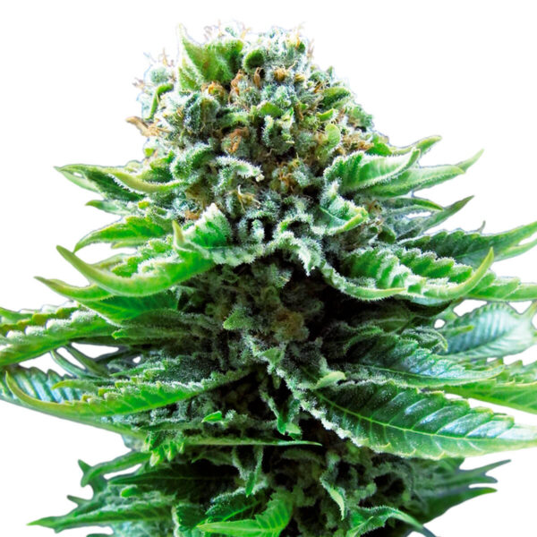 Sensi Seeds | Autoflowering Cannabis Seeds – Northern Lights Auto – 3pcs - bud photo - 2