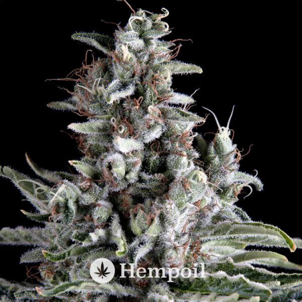Anosia haze αυτόματοι σπόροι κάνναβης της Hippocrates Seeds, φωτογραφία φυτού.